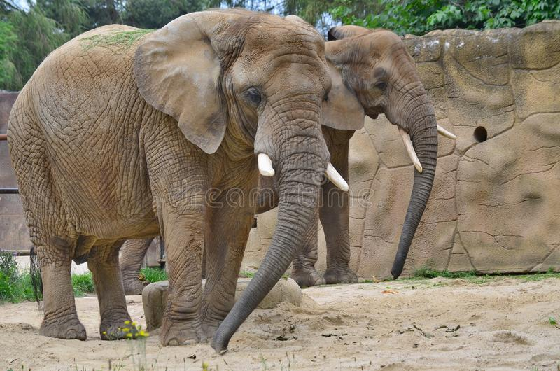 Download Elephant stock photo. Image of czech, strength, environment - 100524404