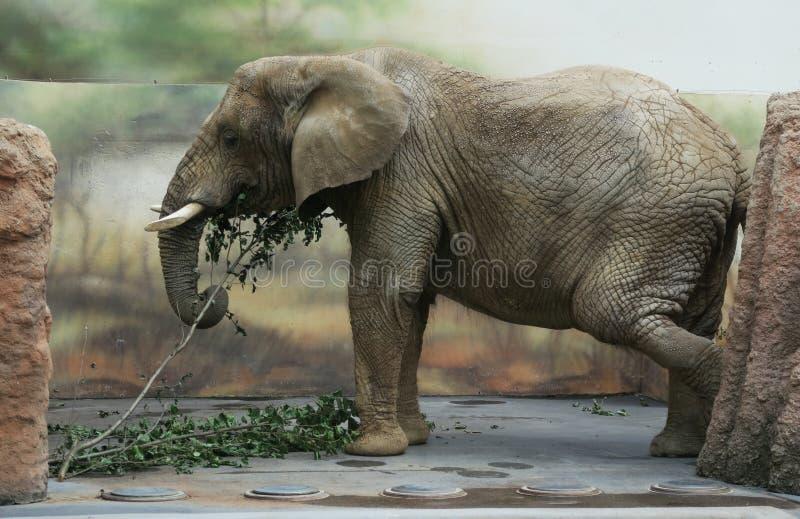 Elephant in ZOO in Dvur Kralove nad Labem. In Czech Republic stock photos