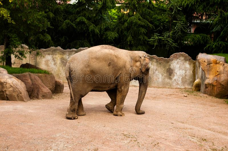 Valbrembo, Italy - 16.05.2019. Elephant in the zoo walking. Daytime in Le Cornell animal park stock images