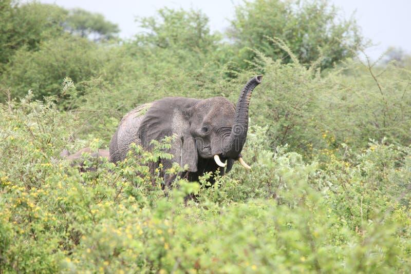 Elephantidae sauvage d'éléphant dans la savane du Botswana d'Africain image libre de droits