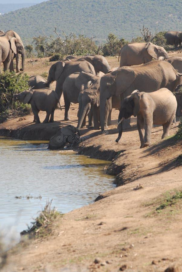 Elephants. African elephants enjoying their environment royalty free stock photo