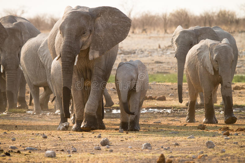 Download Elephants Royalty Free Stock Photo - Image: 18388785