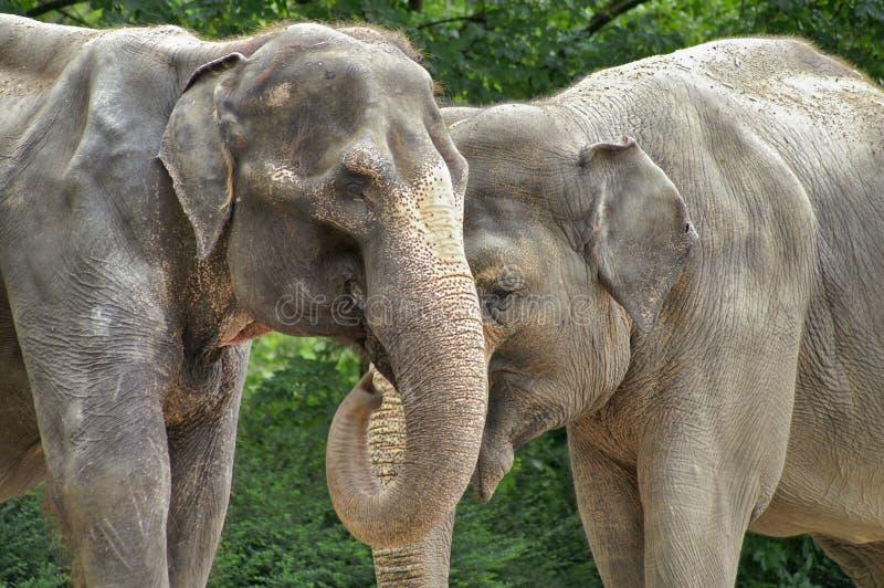 Download Elephants stock image. Image of elephant, african, elephants - 453695