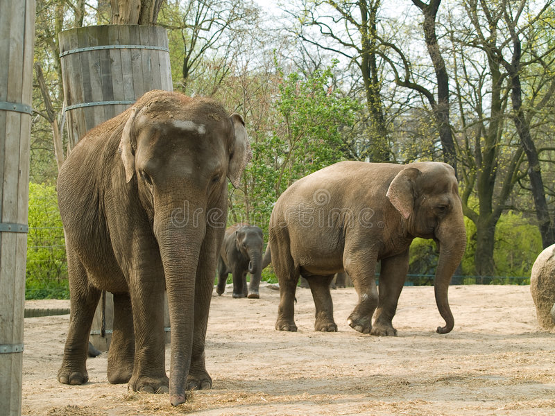 Download Elephants stock photo. Image of mammal, elephants, afrika - 5714258