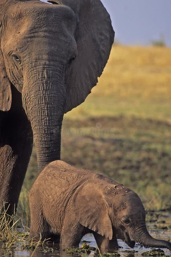 Free Elephants Stock Photos - 5788133