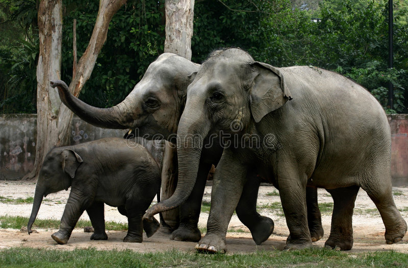Download Elephants stock image. Image of mammal, juvenile, ears - 661155