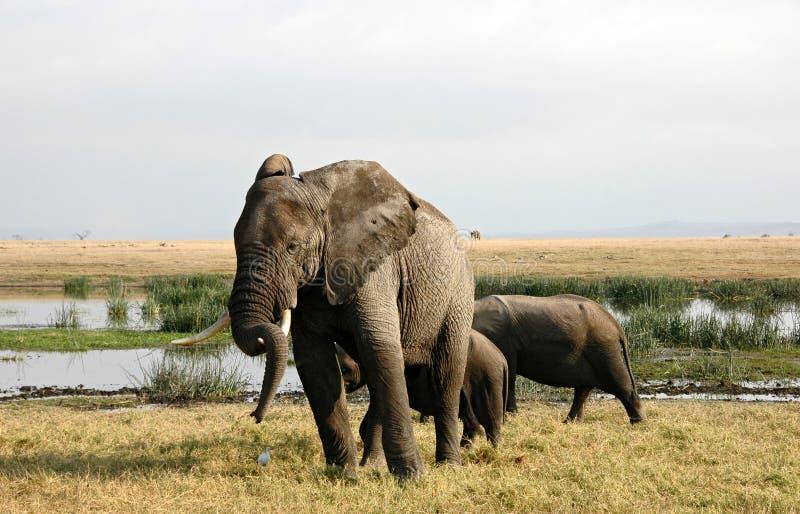 Download Elephants stock image. Image of relaxing, nature, safari - 6850389