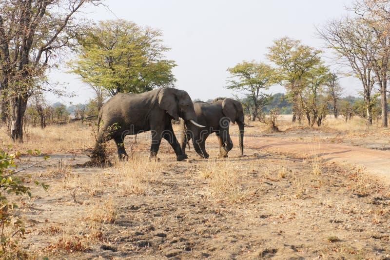 Elephants1 stockfotografie