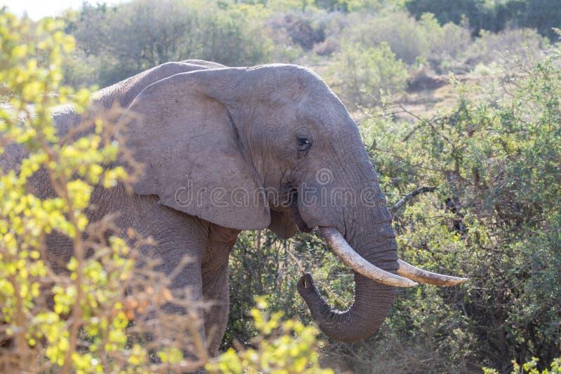 Elephants in Addo Elephant National Park in Port Elizabeth - South Africa. Portrait of elephant eating in Addo Elephant National Park in Port Elizabeth - South stock photo