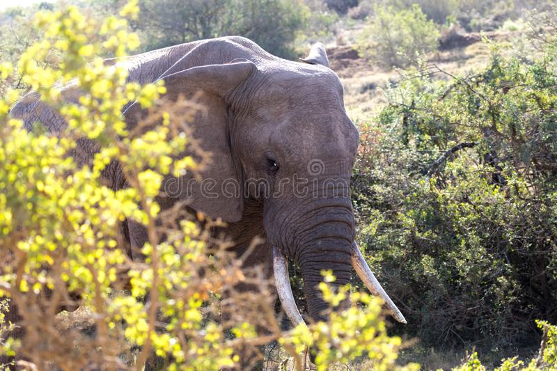 Elephants in Addo Elephant National Park in Port Elizabeth - South Africa. Portrait of elephant hiding in bush in Addo Elephant National Park in Port Elizabeth royalty free stock photography
