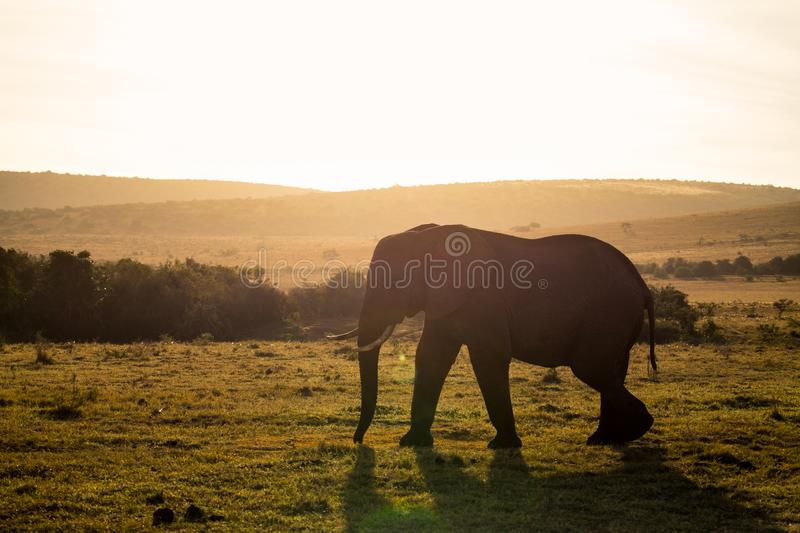 Elephants in Addo Elephant National Park in Port Elizabeth - South Africa. Elephant walking in sunet in Addo Elephant National Park in Port Elizabeth - South royalty free stock images