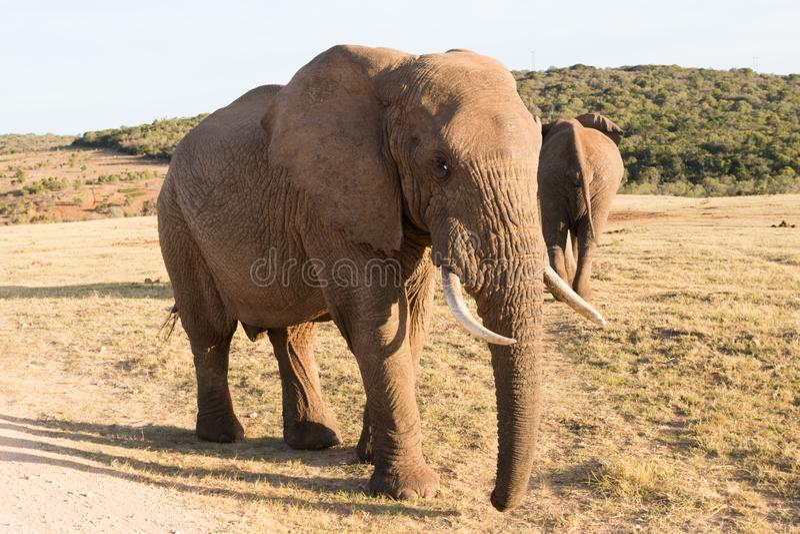 Elephants in Addo Elephant National Park in Port Elizabeth - South Africa. Elephant walking very close to camera in Addo Elephant National Park in Port Elizabeth royalty free stock photo