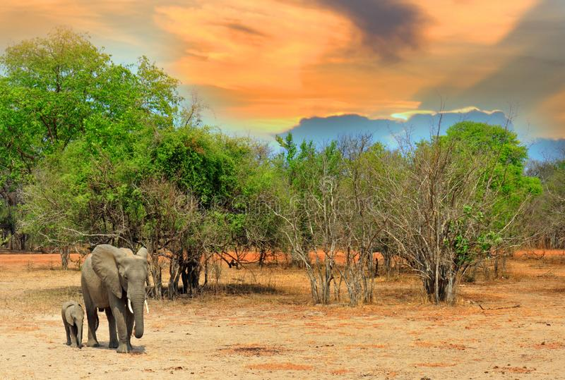 Elephants on he Afrian Plains with a sunset sky and tree lined background in South Luangwa National Park, Zambia. Mother and Baby Calf Elephants standing on the royalty free stock image