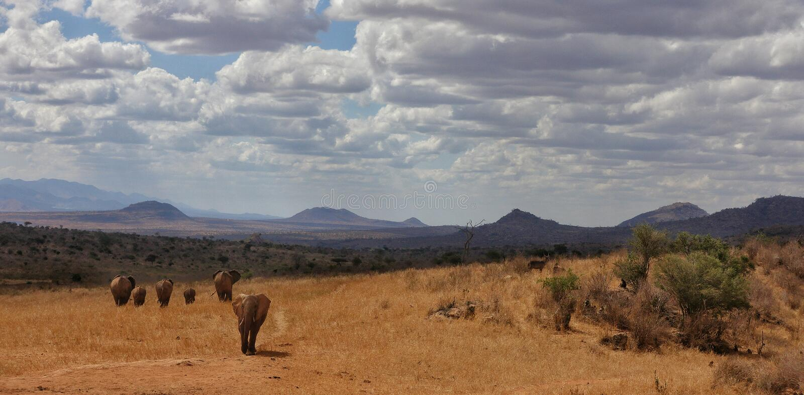 Elephants at African savanna of Tsavo West national park Kenya Africa. A small family of African Elephants walking on the African savanna of Tsavo West national royalty free stock photos