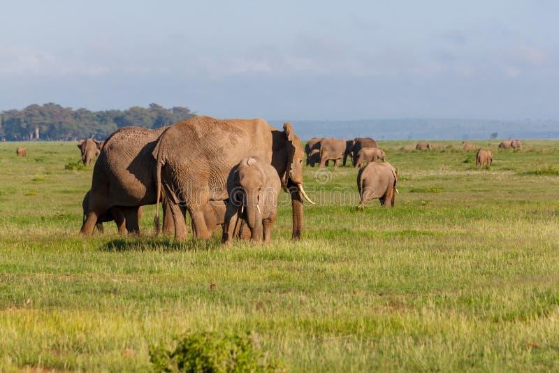 Elephants in Amboseli stock images