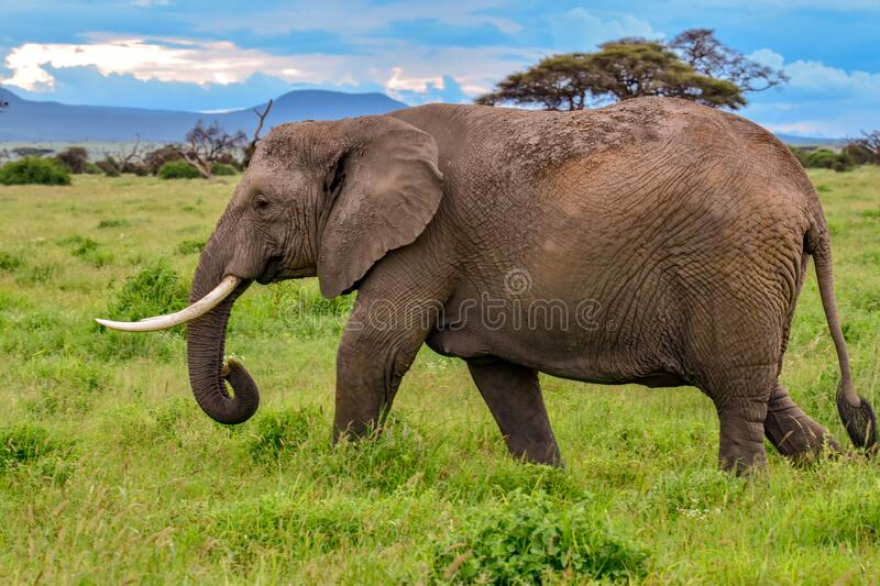 Elephants in the Amboseli National Park in Kenya. Elephants in the National Park Tsavo East, Tsavo West and Amboseli in Kenya royalty free stock photo