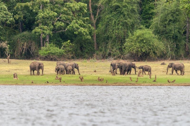 Elephants on the banks of Kabini river, Nagarhole, Karnataka, India.  stock photo