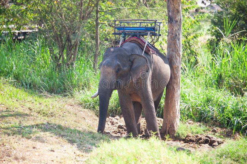 elephants being held captive in an elephant camp  Chiang Mai royalty free stock photos