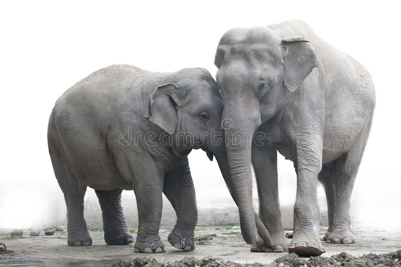Elephants royalty free stock photos