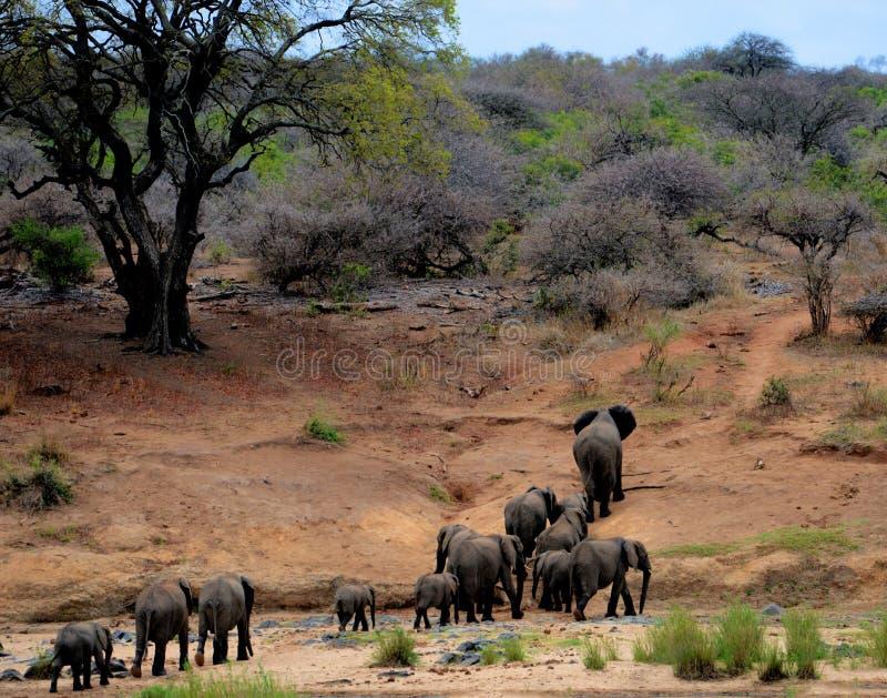 Elephants on Brown Mountain stock photos