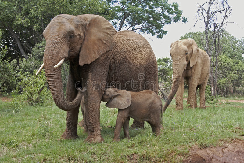 Elephants with calf royalty free stock images