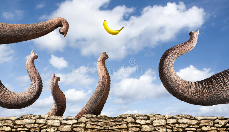 Elephants catching a banana stock photography