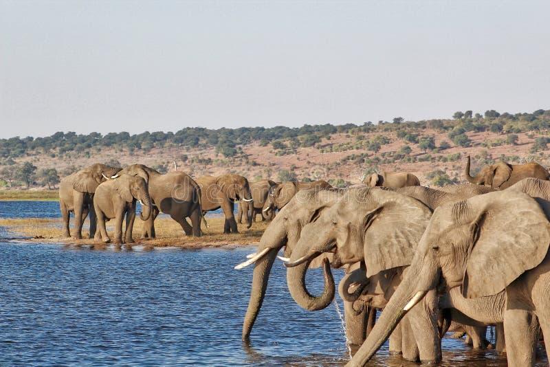 Elephants at the Chobe River stock photography