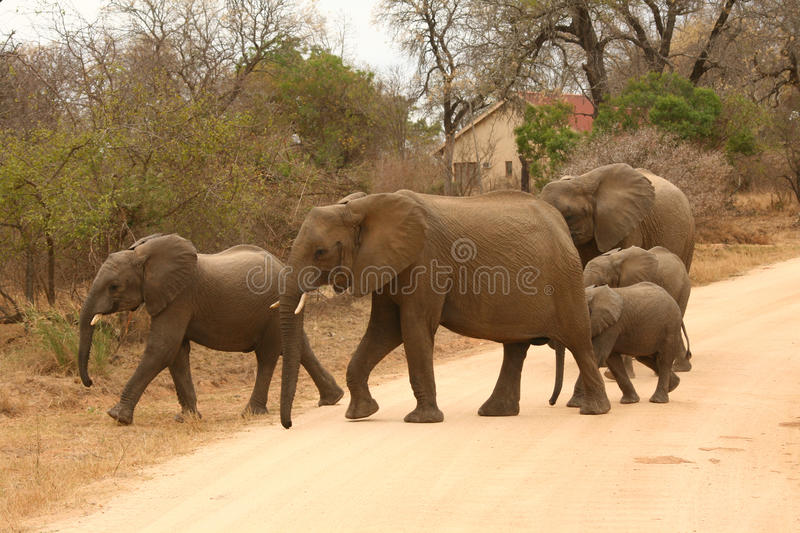 Elephants crosing the road royalty free stock photography