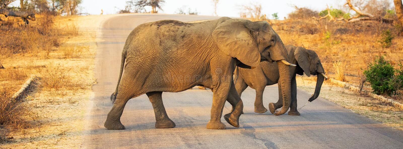 Elephants Crossing Road in Kruger National Park. Mother and baby elephant crossing over road in Kruger National Park, South Africa stock image