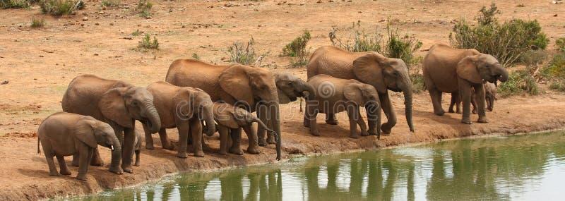 Elephants drinking. stock images