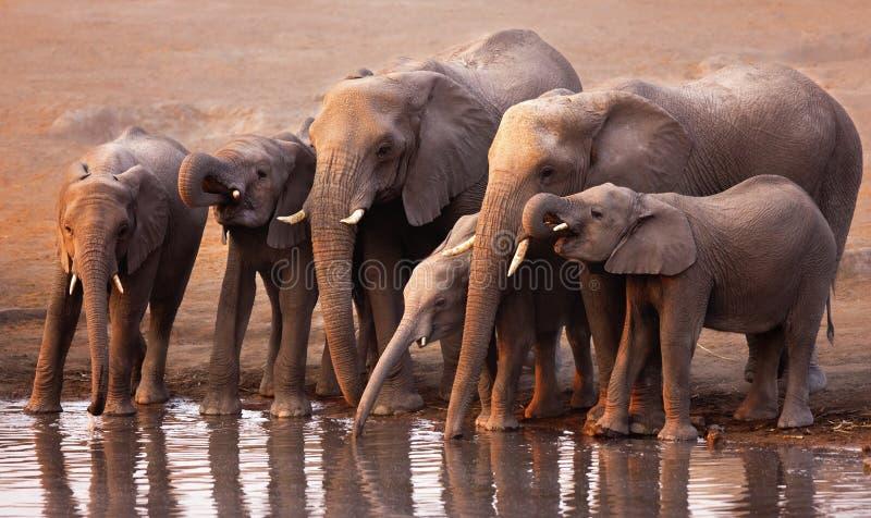 Download Elephants drinking stock photo. Image of habitat, elephant - 12501536