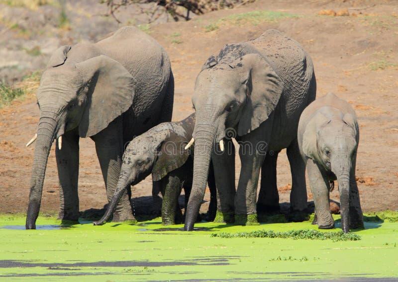 Elephants drinking royalty free stock photography
