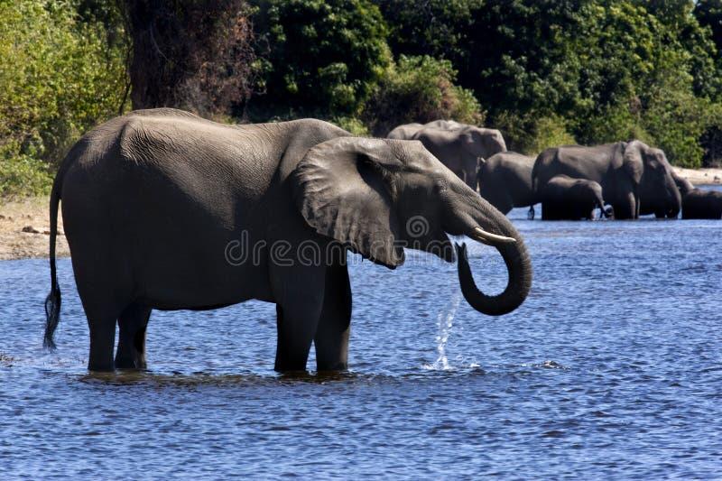 Download Elephants Drinking - Botswana Stock Image - Image: 14719179