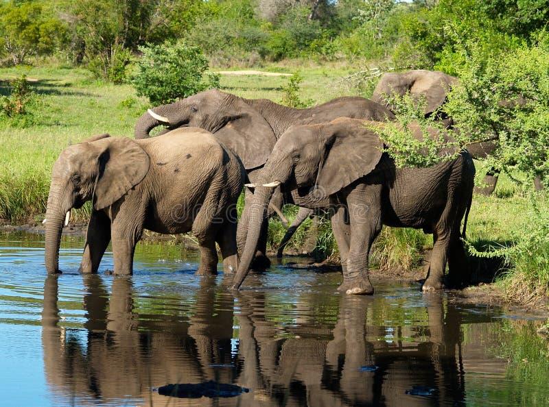 Elephants Drinking stock image