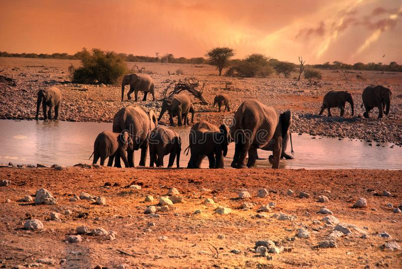 Sunset in Namibia, drinking elephants at waterhole. Elephants drinking at a waterhole at sunset in savanna in africa royalty free stock image