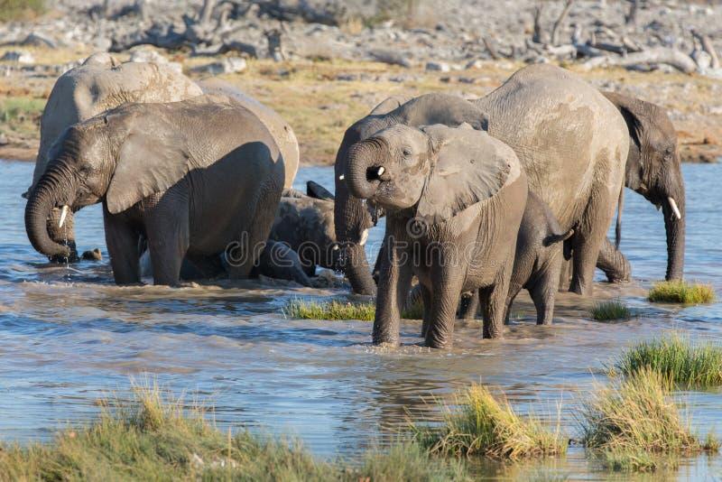 Elephants in Etosha. Baby elephant drinking water in Etosha royalty free stock images