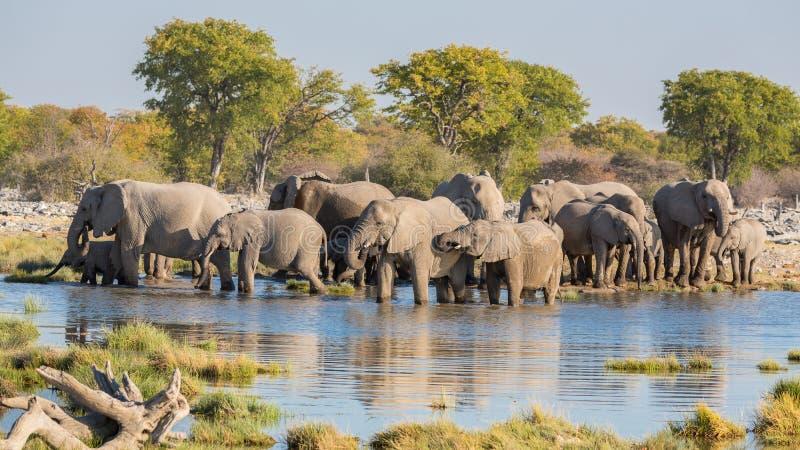 Elephants in Etosha. Group of Elephants drink at a waterhole in Etosha royalty free stock image