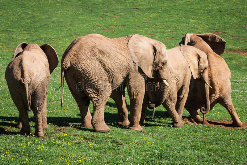 Elephants family on African savanna. Safari in Amboseli, Kenya, royalty free stock photography