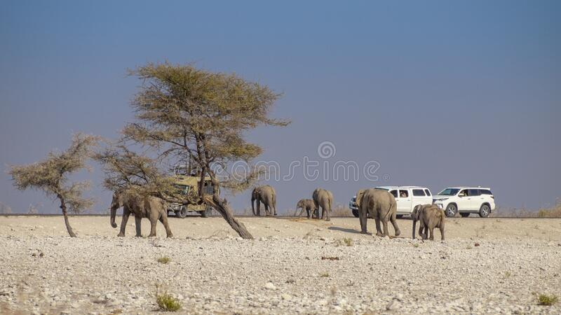 Elephants family crossing a road in the Etosha National Park in Namibia. royalty free stock images