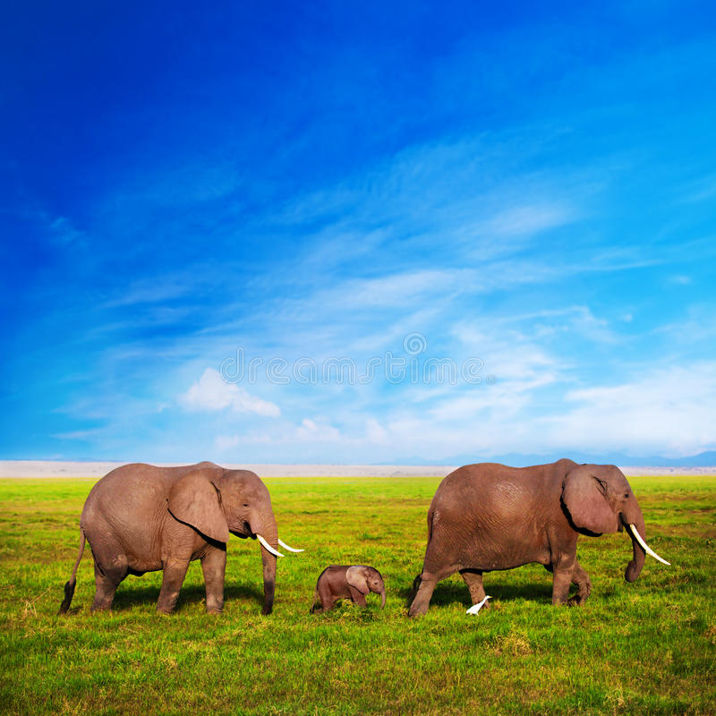 Elephants family on savanna. Safari in Amboseli, Kenya, Africa stock photography