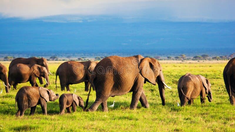 Elephants family on savanna. Safari in Amboseli, Kenya, Africa royalty free stock image