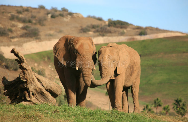 Download Elephants Feeding Each Other Royalty Free Stock Image - Image: 7212736