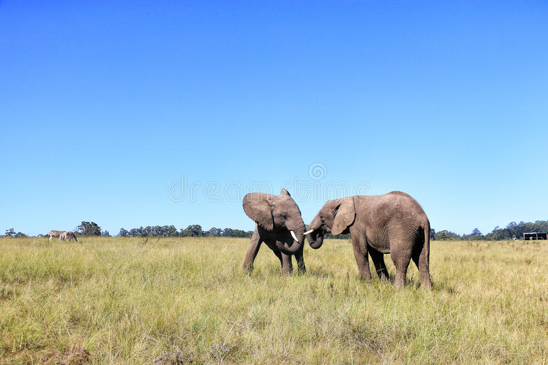Elephants fighting. Two elephants fighting in South africa stock photography