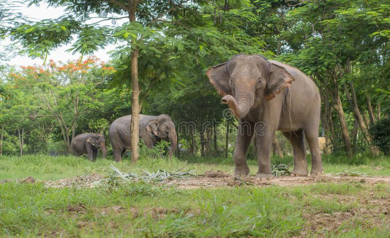 3 Elephants in the forest with the closest one that lift up the trunk. Meanwhile is eating vegetables royalty free stock photography
