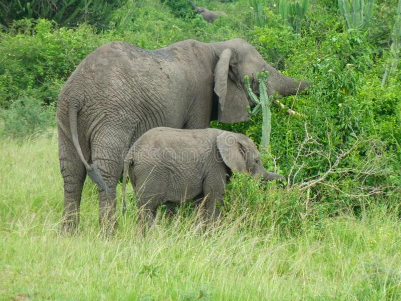 elephants in the grassland in africa stock image