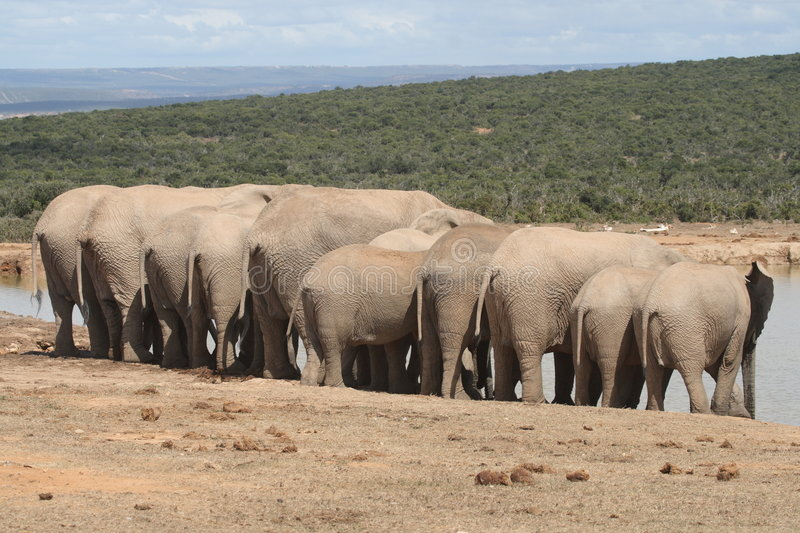 Download Elephants hanging out. stock image. Image of huge, intimidating - 4994247