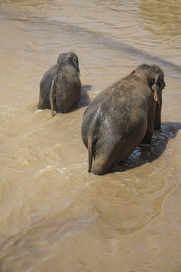 Elephants having bath in a muddy lake at nature. Elephant family having bath in a muddy lake at nature stock image