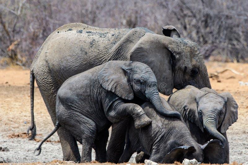 Elephants having fun. Small group of elephants enjoying each others company stock photo