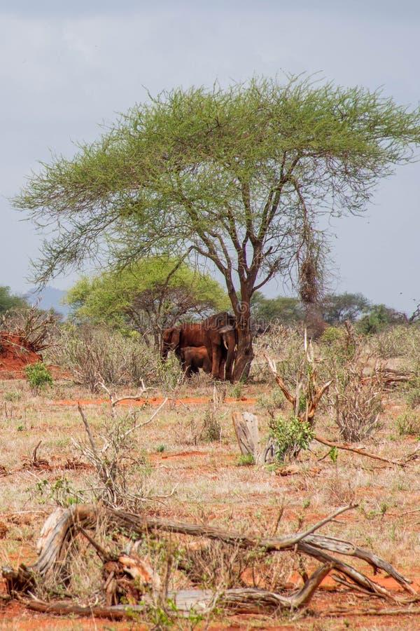 Elephants inNgutuni Park Safari. Beautiful african landscape. Lone tree in Kenya. Ngutuni National Park royalty free stock photo