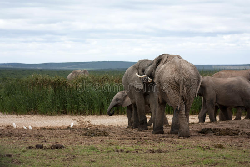 Elephants Interacting stock photography